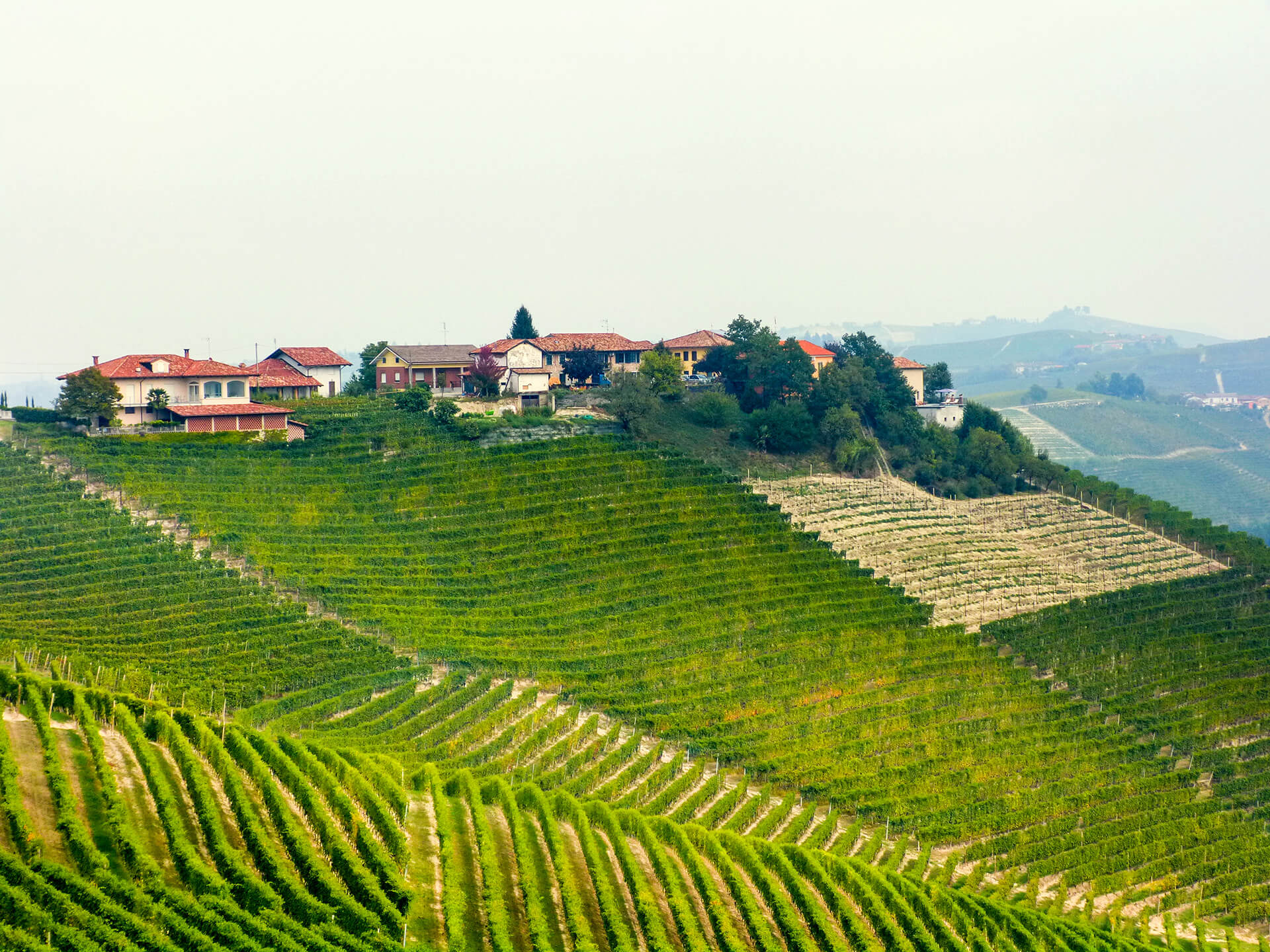 rows-vineyard-piedmont